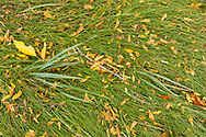 Wind-swept grass filled with autumn leaves - Locust, Black Cherry and Ash.