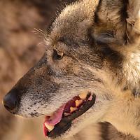 Alaskan husky head closeup