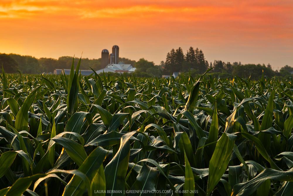 Corn field under a colorful dawn sky.