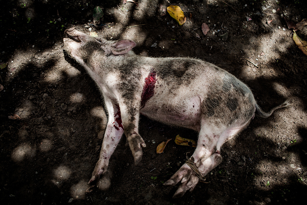 A freshly killed pig that David purchased for $300 to conduct the adat ritual. <br /> <br /> One of the most common practices in the highlands to diagnose and cure HIV is by conducting a traditional ritual termed adat.  This involves killing a pig and examining its blood, heart, lungs, and kidney.  After cutting the pig open and inspecting its internal organs, the practitioners of adat remove what they interpret as parasites or cancerous parts that they believe caused the sickness.  Cleaning the pig's flesh by washing it with water would also &quot;cure&quot; the person's illness.  Performing the adat ritual is expensive since a pig can cost hundreds of dollars.  The treatment does not work despite the strong cultural belief behind it.  In the end, after killing numerous pigs and spending a fortune, many people give up hope.  By the time they finally decide to go to the hospital, their condition is too critical with little chance for survival.<br /> <br /> Due to a lack of HIV/AIDS education, limited access to health services, and strong pre-existing cultural beliefs about illness, many Papuans who are desperate for a cure turn to alternative medicines and traditional methods of healing.  Sometimes it involves cutting different parts of the body to drain &quot;dirty&quot; blood believed to cause the sickness.  Fruit potions such as the renowned red fruit potion (buah merah) are also extremely popular for its perceived healing capability.  In some cases, those who are already taking ARV medication abandon it to take expensive alternative medications such as Herbal Life vitamin supplements because they are promised an immediate cure.
