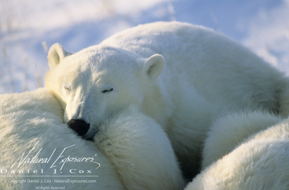 Polar Bear portrait of a cub sleeping with its mother and sibling. Churchill, Manitoba, Canada