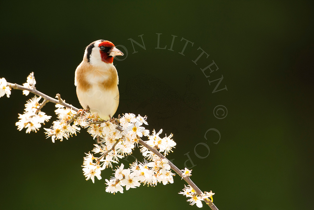European Goldfinch (Carduelis carduelis) adult, perched on twig in blossom, spring, Norfolk, UK.