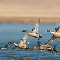 pintail drakes taking off from lake wings open close up