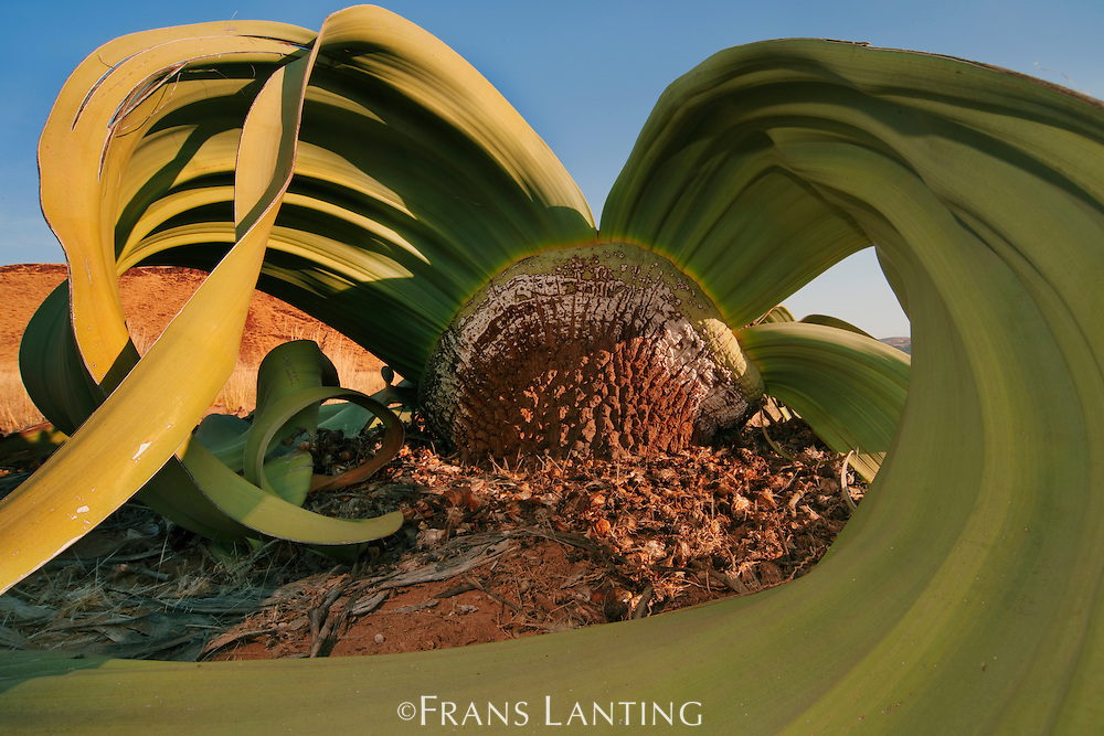 Welwitschia plant, Welwitschia mirabilis, Messum Crater, National West Coast Recreation Area, Namibia