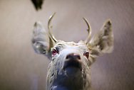 An Albino White Tail deer is displayed at the Oneida County Court House in Rhinelander, Wisconsin.