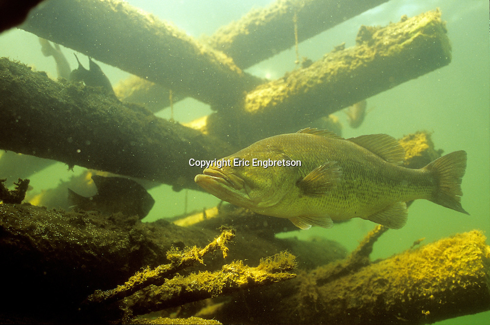 Largemouth Bass on Fish Crib<br />