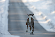 Reindeer captured closeby Tunhovdfjorden, Nore og Uvdal, Norway. This one, the first in a group of 7 animals escaping across the road, gives me association to the song Driving home for Christmas | Reinsdyr fotografert i nærheten av Tunhovdfjord, Nore og Uvdal, Norge. Denne reinen, den første i en flokk på 7 dyr som flykter over veien, får meg til å tenke på sangen Driving home for Christmas.