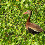 Black-bellied Whistling-Duck captured in the Donnelly Wildlife Management Area wetlands.
