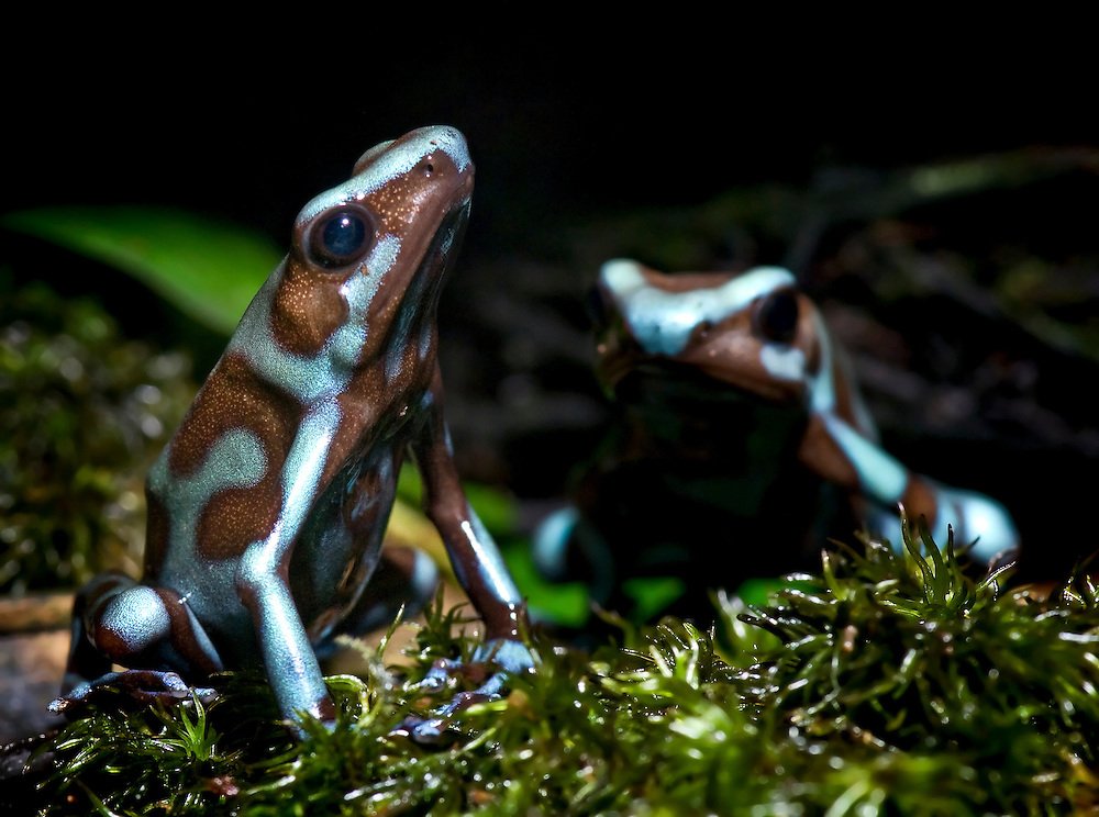 Dendrobates auratus can be found in Central and South America, from Nicaragua and Costa Rica to southeastern Brazil and Bolivia.