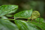 Small-leaf Katydid (Pseudophyllinae)<br /> Yasuni National Park, Amazon Rainforest<br /> ECUADOR. South America<br /> HABITAT & RANGE:
