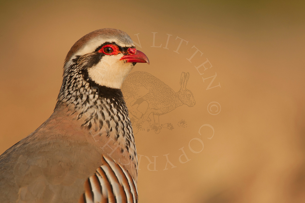 Red-legged Partridge (Alectoris rufa) adult , close up of head, Norfolk, UK.
