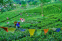 Inde, Bengale Occidental, Darjeeling, Domaine du thé de Castleton, cueillette du thé // India, West Bengal, Darjeeling, Castleton tea estate, tea picker picking tea leaves