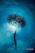 Atlantic sailfish, Istiophorus albicans, attacking bait ball of Spanish sardines (aka gilt sardine, pilchard, or round sardinella ), Sardinella aurita, off Yucatan Peninsula, Mexico ( Caribbean Sea )