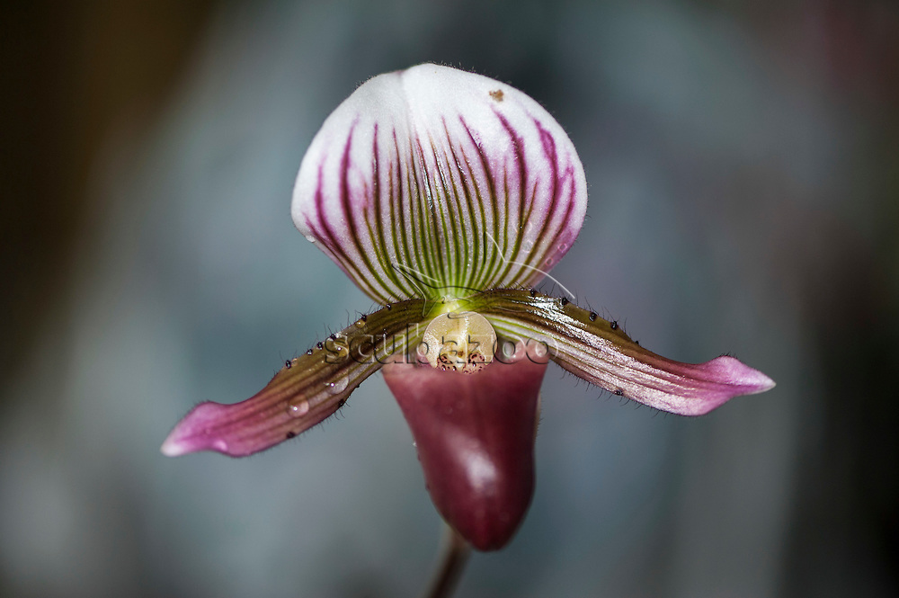 An Orchid flower, Paphiopedilum barbatum, Cameron Highlands, Malaysia.