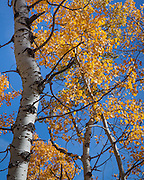 Aspens, near Evergreen, Colorado