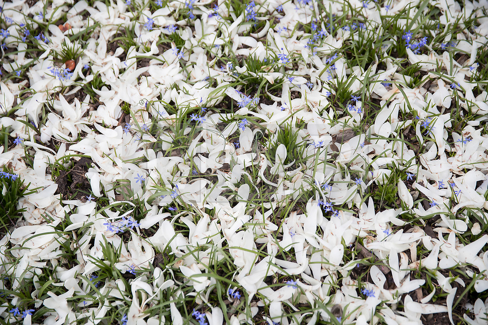 © Licensed to London News Pictures. 21/03/2017. London, UK. Glory-of-the-snow flowers are seen amongst a carpet of fallen magnolia leaves at the Royal Botanic Gardens Kew in afternoon sunshine.  Photo credit: Peter Macdiarmid/LNP