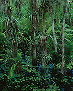 Cypress swamp, Loxahatchee National Wildlife Refuge, Florida - 2700007