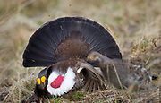 HEAD OVER HILLS | Male Dusky grouse (Dendragapus obscurus) is trying to impress visiting female. Dirt flies.