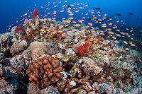 Anthias feed in the current above healthy corals