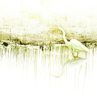 A white crane standing in shallow water