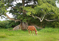brown horse by large 300 year old Ceiba tree in Vieques , Puerto Rico