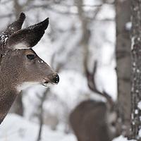 muledeer doe looking back at trophy buck pursuing deer during rut aspen cottonwood forest