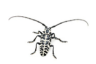 Cottonwood Borer (Plectrodera scalator)<br /> TEXAS: Travis Co.<br />McKinney Falls State Park; Austin<br />24.May.2012 3<br />J.C. Abbott #2594 &amp; K.K. Abbott