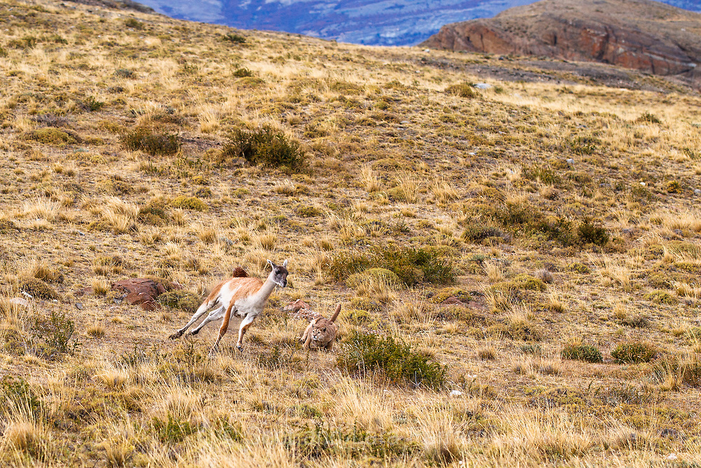 A puma gets ready to pounce on a fleeing guanaco.  It was thrilling to watch the puma creep up within 15-20 feet of the guanaco completely undetected.  Then when the puma started to rush in the guanaco was alerted and ran.  The guanaco escaped, but it was close.