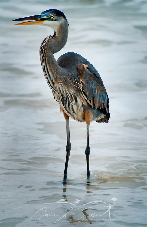 A Great Blue Heron stands with its bill open on Dauphin Island, Alabama. (Photo by Carmen K. Sisson/Cloudybright)