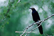 01624-00212 Great-tailed Grackle (Quiscalus mexicanus) Bentsen Rio Grande SP  TX