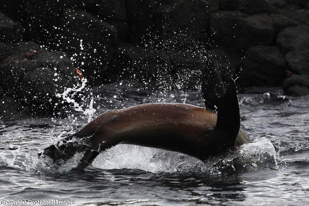 A sea lion jumps out of the water off of Florian Island in the Galapagos.