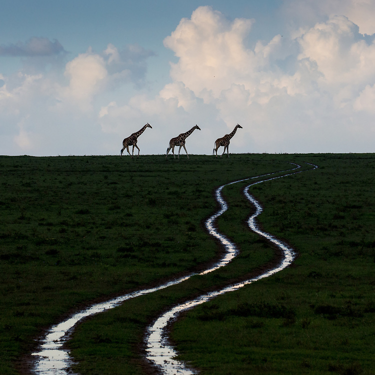 Giraffes at the end of water-filled ruts