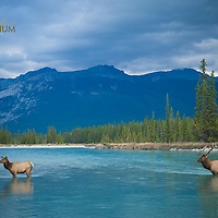 elk crossing large western river