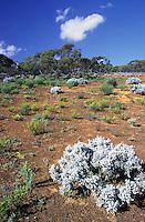 Semi desert Mallee landscape, with desert plants and shrubs, South Australia.