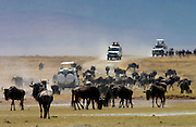 Herd of Blue Wildebeest, Ngorongoro Crater, Tanzania, East Africa