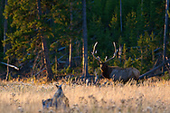 Bull Elk during rut in Yellowstone