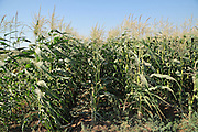 Corn field ready for harvest. Photographed in Israel, Golan Heights