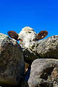 Cow peering over stone fence, USA