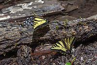 Papilio rutulus (Western Tiger Swallowtail) at Icehouse Canyon, San Bernardino Co, CA, USA, on 30-Jun-18
