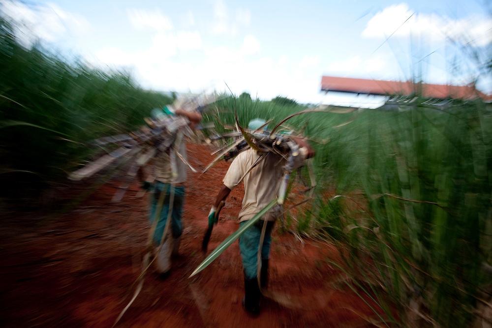Patos de Minas_MG, 02 de Fevereiro de 2010..Historias - Cachaca Leblon..Na foto, a colheita da cana...Foto: LEO DRUMOND / NITRO