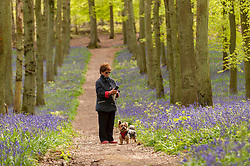 © Licensed to London News Pictures. 01/05/2015. Ringshall, Hertfordshire, UK. A woman photographs the bluebells whilst her dog waits.  Just in time for the early May bank holiday, the bluebells are nearly in full bloom in Dockey Wood, part of the Ashridge Estate. This wood is renowned for its carpet of bluebells every spring and is regarded as one of the finest examples in the country. Photo credit : Stephen Chung/LNP