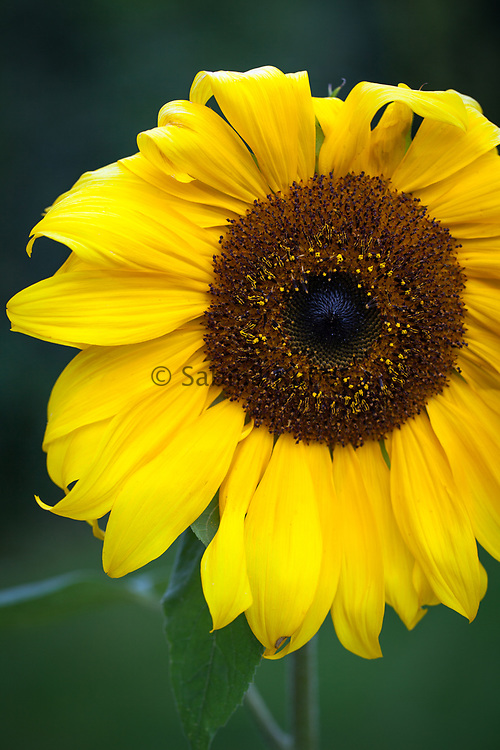 Helianthus annuus 'Russian Giant' - sunflower