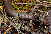 Northern rubber boa snake on a cliffside above the Kootenai River in early spring. Kootenai River Valley in the Purcell Mountains, northwest Montana.