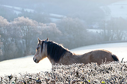 © Licensed to London News Pictures. 02/01/2019. Builth Wells, Powys, Wales, UK. Horses stand in a frosty landscape near Builth Wells in Powys, Wales, UK. Temperatures dropped overnight to minus 3.5 degrees centigrade in Powys, Wales, UK. credit: Graham M. Lawrence/LNP