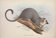 Lemur From the book Zoologia typica; or, Figures of new and rare animals and birds described in the proceedings, or exhibited in the collections of the Zoological Society of London. By Fraser, Louis. Zoological Society of London. Published by the author in London, March 1847