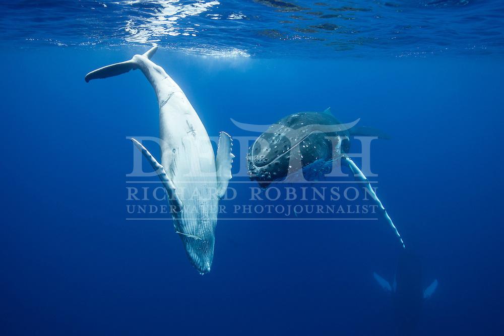 A female Megaptera novaeangliae (Humpback Whale) keeps a close eye on her calf off the coast of the Vava'u Island group in the Kingdom of Tonga..Saturday 01 September 2012..Photograph Richard Robinson © 2012.