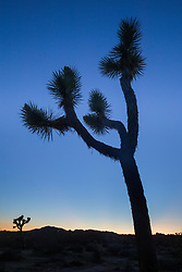 Silhouette of Joshua Tree at dusk near White Tank, Joshua Tree National Park, California, USA.