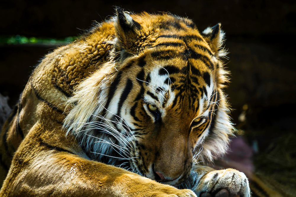 A resting Amur (Siberian) Tiger at the Hogle Zoo in Salt Lake City.