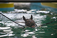 Equine Swimming Pool Training - Jonjo O'Neill Racing, Jackdaws Castle, Temple Guiting, Gloucestershire, United Kingdom - 01 June 2013