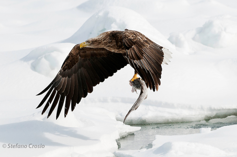 JAPAN, Eastern Hokkaido.White-tailed sea eagle (Haliaeetus albicilla) with fish in flight